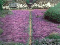Thyme Thyme is a drought resistant plant that is a beautiful shade of purple.  Save water and glam up your lawn at the same time! While a little foot traffic won't hurt, you should set up a walking path through the thyme to keep from damaging the plants.
