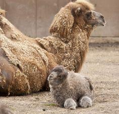 Kameel - 15x de schattigste exotische baby dieren