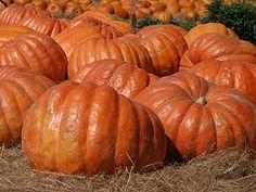 Atlantic Giant Pumpkin Seeds | Largest Pumpkin