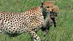 A mother cheetah carries her cub in the long grass.
