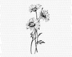 Antique Image Wild Daisies Flower Vintage