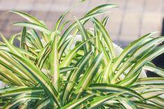 Rönsylilja (Chlorophytum comosum) - Huiskula