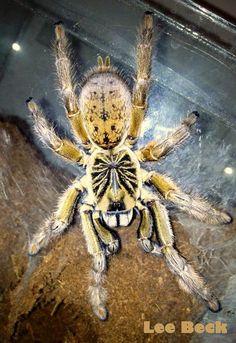Augacephalus ezendami tarantula