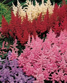 Astilbe Collection for the front landscaping area. One on the few perennials that bloom with lots of color in the shade. you would do a mass planting of this in drifts that coordinate with the daffodils. you can mix and match colors or pick just one. I like white