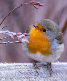 Ideas Robin Bird Friends For 2019 Cute Birds, Pretty Birds, Beautiful Birds, Animals Beautiful, Nature Animals, Animals And Pets, Cute Animals, Vogel Gif, Robin Bird