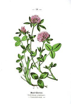 Botanical - Clover - Wayside and Woodland 1895 - Plate 48