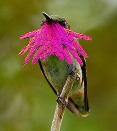 wine throated hummingbird - Knut Eisermann