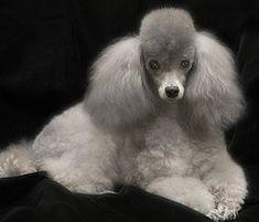 Toy Poodle Portrait- mine never sits this still lol