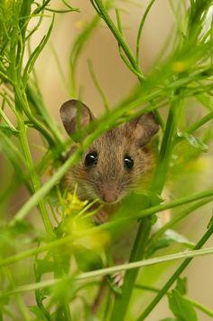 Cute field mouse, where he belongs...out in a field.