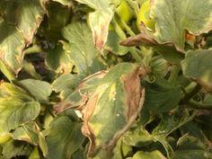 Ekologické zemědělství, permakultura: Účinná prevence Phytophthora v bramborách a rajčatech