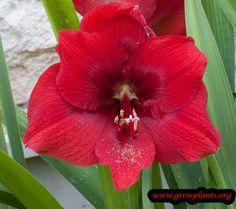 Amaryllis red learn 2 #grow #amaryillis http://www.growplants.org/growing/amaryllis