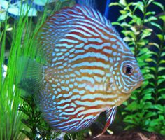 Red Turquoise Discus by Ryan Gartman, via Flickr