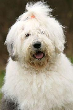 Old english sheepdog - looks just like my Murphy!