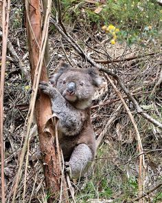 Meet a wild koala crossing the road during our way to Port Campbell by Vic Australia, Victoria Australia, Meet, Ocean, Instagram Posts, Animals, Animaux, Animal, Sea