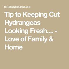 Tip to Keeping Cut Hydrangeas Looking Fresh. - Love of Family & Home Hydrangea Bush, Hydrangeas, Flower Arrangements, Wedding Flowers, Home And Family, Fresh, Love, Tips, People