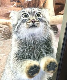 Cute Baby Animals, Animals And Pets, Funny Animals, Beautiful Cats, Animals Beautiful, Felis Manul, Pallas's Cat, Small Wild Cats, Serval Cats