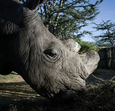 This Rhino Is Guarded 24 Hours A Day Because There Is No One Else Like Him Left On Earth