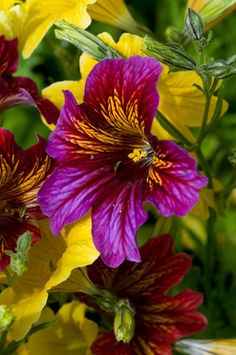 Painted Tongue or Velvet Trumpet Flower (Salpiglossis sinuata) by Georgianna Lane, gardening, purple flower