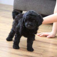 Teacup Labradoodle Mini Labradoodle Puppies For Sale