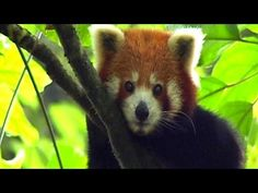 Pure Nature Specials - Cherub of the Mist... The Red Panda , shy lives high in the mountains is rare and in danger from habitat loss