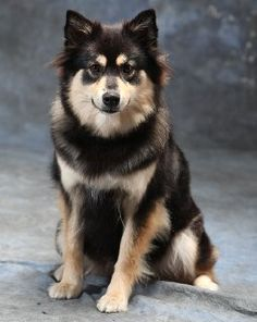 finnish Lapphund photo   Finnish Lapphund Breed Information - Breeders lists - Puppies for Sale ...