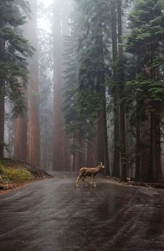 Visit for more incredible travel & nature photos! A quiet and peaceful scene as mist coats the forest and a young doe walking right through Sequoia National Park. Photo by: Explore. Sequoia National Park, National Forest, National Parks, All Nature, Amazing Nature, Jolie Photo, Nature Photos, Beautiful Landscapes, The Great Outdoors
