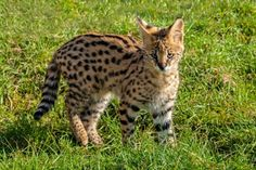 Frivillig arbeid med kattedyr i Sør-Afrika Gato Serval, Serval Kitten, African Serval Cat, Ashera Cat, Hypoallergenic Cats, Asian Leopard Cat, Youtube Cats, Cat Scratching Post, Domestic Cat