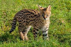 Ashera Cat exotic domestic cat, part African Serval Cat