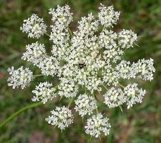 14 Best Foraging Queen Anne S Lace Wild Carrot Images On