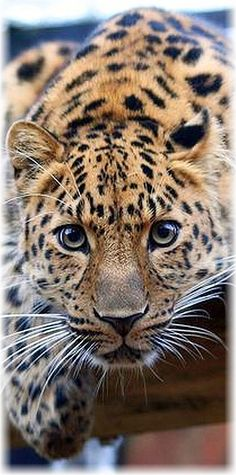 HEY ▬▬► I SEE YOU ;-)) ◑y◐ AMUR LEOPARD #animal wildness puma big cat panthera panther jaguar nature amazing closeup #photo by Keven Law