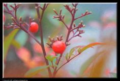Red berries by Giancarlo Gallo