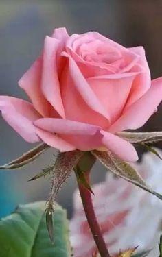 Esta bella rosa es para mi queridisima hermana Rosita 11/11/16 que esta en el cielo  jordi.