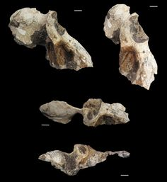 Various views of the baboon skull fossil, Papio angusticeps.