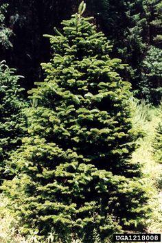 Meet A Tree: Top ten Christmas tree varieties in the United Sta. Christmas Tree Varieties, Types Of Christmas Trees, Christmas Tree Farm, White Spruce, Fraser Fir, Light Colored Wood, Balsam Fir, Forest Service, Douglas Fir