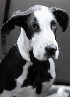 Beautiful baby..so glad for not cropping..Great Danes are a class act all on their own..
