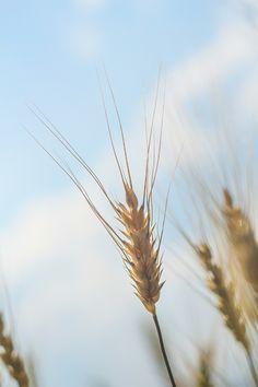 Barley rice @ Chiang Mai, Thailand #fotobylinhping