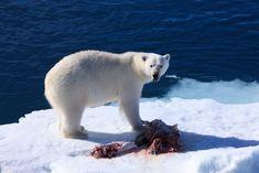 The Arctic's top predator :P