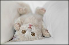 A kitten lying on its back between two white pillows.