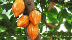 The cacao (cocoa) bean is one of nature's most amazing superfoods,also used in making delicious chocoaltes.Check more details on the website of Gyarko Farms for high quality cocoa beans: http://www.asanduff.com/gyarko-farms/ #cocoabeans, #cocoaghana, #cocoafarms
