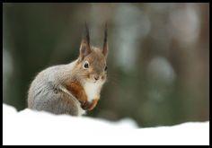 Orava - photo Kai Hautala