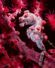 Pygmy Seahorse via Peter Arnolli...looks like that essence of gargoyle running roughshod over the EArth