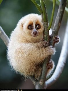 Google Image Result for http://icanhascheezburger.files.wordpress.com/2012/05/cute-animals-daily-squee-squee-spree-fluffy-loris-climber.jpg