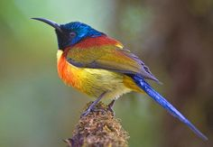 Green-tailed Sunbird Posing by aeschylus18917, via Flickr