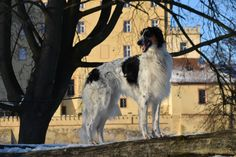 Russian Wolfhound, Foxes, Animals, Animales, Animaux, Animal, Fox, Animais