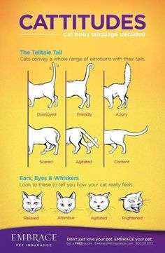 Cat Behavior Guide - Your Cats Moves Explained Love Your Pet, Love Pet, Old Cats, Cats And Kittens, Siamese Cats, Ragdoll Kittens, Tabby Cats, Funny Kittens, Bengal Cats