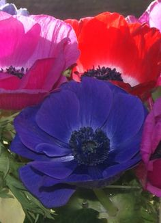 Florissimo - Flowers for weddings and events in Shropshire. ANEMONE, OCT-APR. From Florissimo Flower Directory at https://uk.pinterest.com/ByFlorissimo/flower-directory/ | Red, white, pink and purple