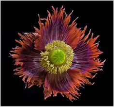 Poppy: Papaver 'Drama Queen' [Family: Papaveraceae] - Flickr - Photo Sharing!