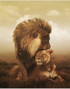 Lion - Lioness - Couple