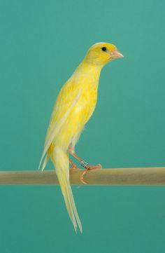 20111700004 Posture Canary - Scotch Fancy.jpg 457×700 pixels