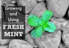 Growing and Using Fresh Mint {KeeperoftheHome.org}